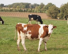 モンペリアルド種の牛